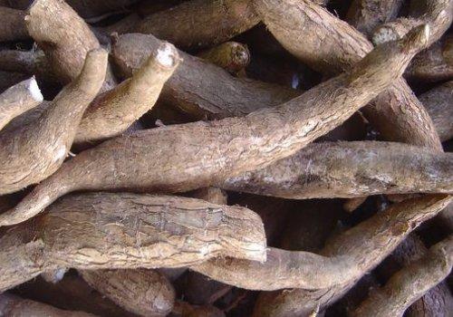 How to grow cassava